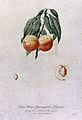 Peach (Prunus species); fruiting branch with halved fruit an Wellcome V0043134.jpg