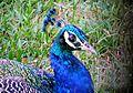 Peacock2345.jpg