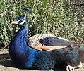 Peacock (27688134640).jpg