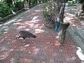 Peacock courtship ritual (7856493586).jpg