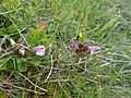 Pedicularis sylvatica, Lousewort, Lochlands Hills, Beith, Ayrshire, Scotland.jpg