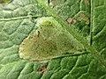 Pegomya spec. (Anthomyiidae) - (larva), Doorwerth, the Netherlands - 2.jpg