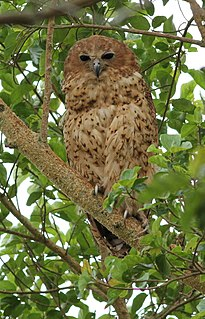 Pels fishing owl Species of owl