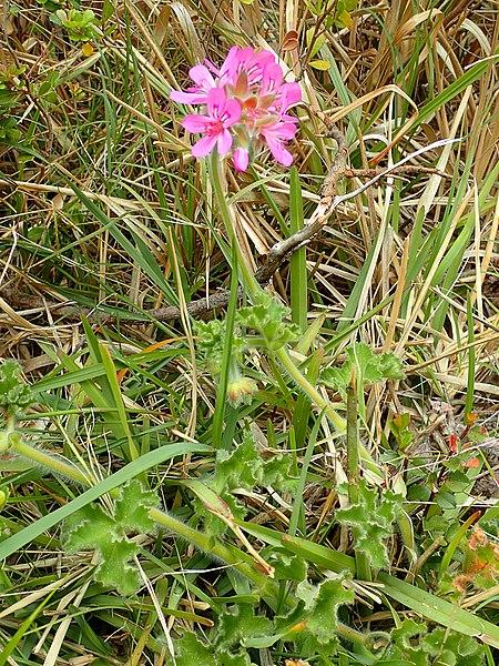 File:Pelargonium capitatum Betty's Bay habit.jpg