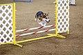 Pembroke Welsh Corgi agility.jpg