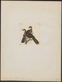 Penelope boliviana - 1820-1860 - Print - Iconographia Zoologica - Special Collections University of Amsterdam - UBA01 IZ16900123.tif
