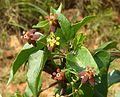 Pentarrhinum insipidum, loof en blomme, c, Groenkloof NR.jpg