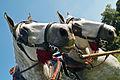 Percherons attelés mondial du cheval percheron 2011Cl J Weber28 (24083442695).jpg