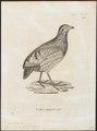 Perdix torqueola - 1700-1880 - Print - Iconographia Zoologica - Special Collections University of Amsterdam - UBA01 IZ17100101.tif
