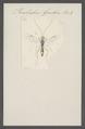 Perilissus - Print - Iconographia Zoologica - Special Collections University of Amsterdam - UBAINV0274 046 06 0165.tif