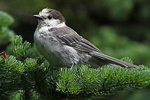 Grey jay - Perisoreus canadensis obscurus in Mount Rainier National Park