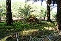 Perkebunan kelapa sawit milik rakyat (70).JPG