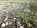 Persicaria lapathifolia subsp. brittingeri sl6.jpg