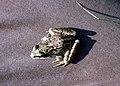 Petite grenouille des pres-2 (vue dessus 2).jpg