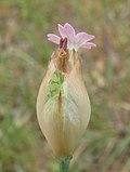 Petrorhagia dubia flowerhead16 SWS (15837498815).jpg