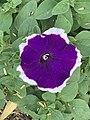 Petunia 11.jpg