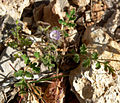 Phacelia cryptantha 1.jpg