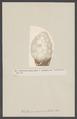 Phallusia mamillata - - Print - Iconographia Zoologica - Special Collections University of Amsterdam - UBAINV0274 005 12 0002.tif