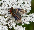 Phasia hemiptera male - Flickr - gailhampshire.jpg