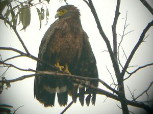 Philippine serpent eagle - Philippine serpent eagle