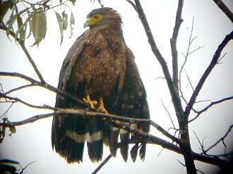 Philippine serpent eagle - Philippine serpent eagle