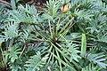 Philodendron Xanadu 0zz.jpg