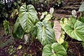 Philodendron grandipes 3zz.jpg