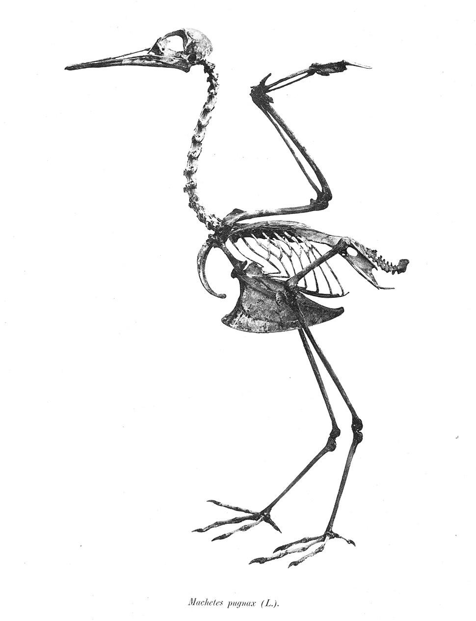 Philomachus pugnax 107