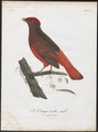 Phoenicircus carnifex - 1801 - Print - Iconographia Zoologica - Special Collections University of Amsterdam - UBA01 IZ16600241.tif