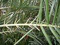 Phoenixacanthophylls.JPG