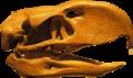 PhorusrhacosLongissimus-Skull-BackgroundKnockedOut-ROM-Dec29-07.png