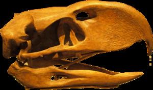 Phorusrhacos - Reconstructed skull, Royal Ontario Museum