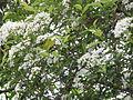 Photinia glabra7.jpg