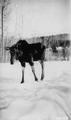 Photograph of Moose - NARA - 2128362.tif