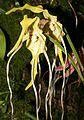 Phragmipedium lindenii Orchi 068.jpg