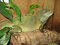 Physignathus cocincinus male.jpg