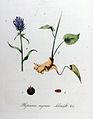 Phyteuma nigrum — Flora Batava — Volume v11.jpg