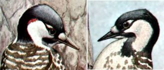 Red-cockaded woodpecker - Detail of head