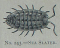 Picture Natural History - No 243 - Sea Slater.png