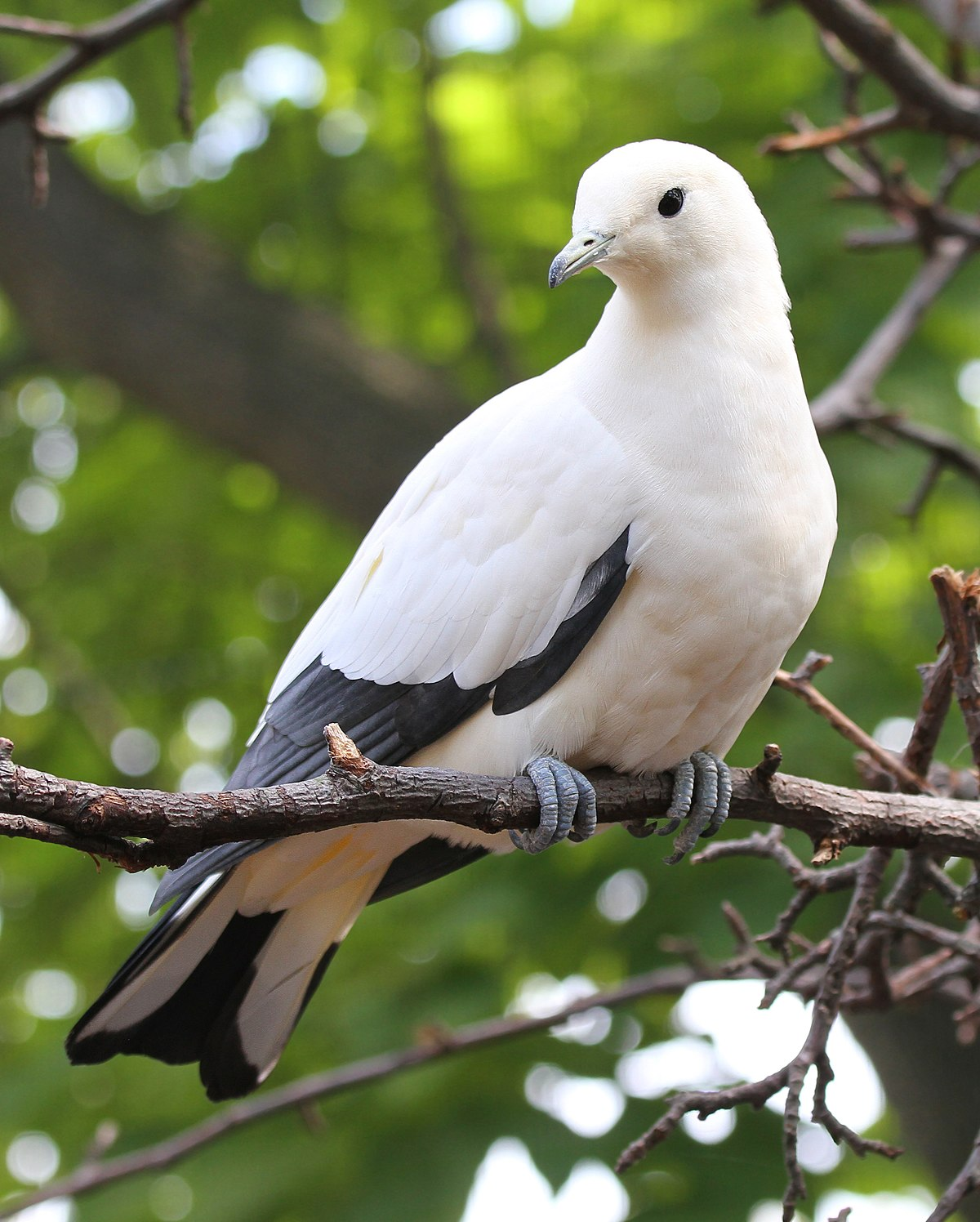 Pied Imperial Pigeon Wikipedia