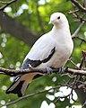 Pied Imperial Pigeon 04.jpg