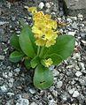 Pierwiosnek łyszczak Primula auricula RB3.JPG