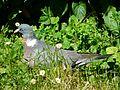 Pigeon ramier à terre Périgueux.JPG