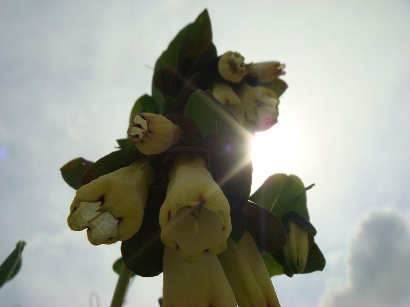 פרח שמשי