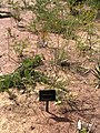 Pileanthus vernicosus.jpg