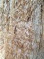 Pinales - Sequoiadendron giganteum - 9.jpg
