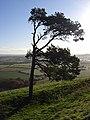 Pine tree, Martinsell Hill - geograph.org.uk - 282589.jpg