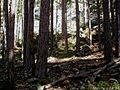 Pinus-laricio.JPG