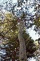 Pinus-silvestris2.JPG