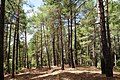 Pinus brutia, Findikli 5.jpg